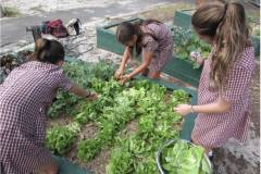 Harveting-Lettuce-for-the-Canteen-Daceyville-PS-copy